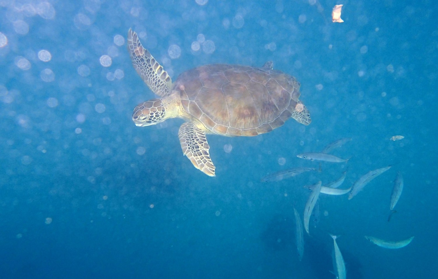 Swimming with the turtles off Bridgetown, Barbados.